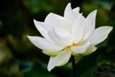 11453706-white-lotus
