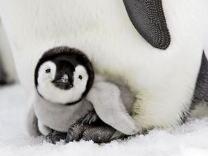 Cute-Baby-Animals-penguin