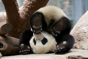 pictures-of-cute-baby-animals panda